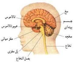 پاورپوینت سیستم اعصاب مرکزی انسان